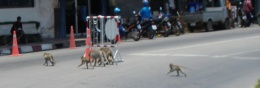 Macaques crossing the road